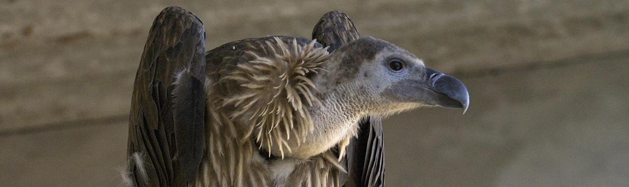 Vulture Header Image